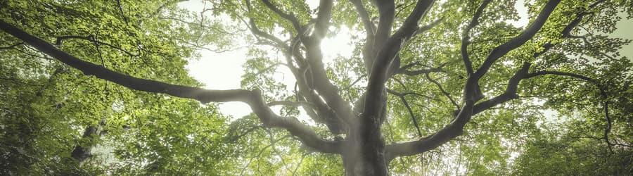 Kent u Heksenboom van Zwarte Kaat al? Deze boom heeft nu uw stem nodig!